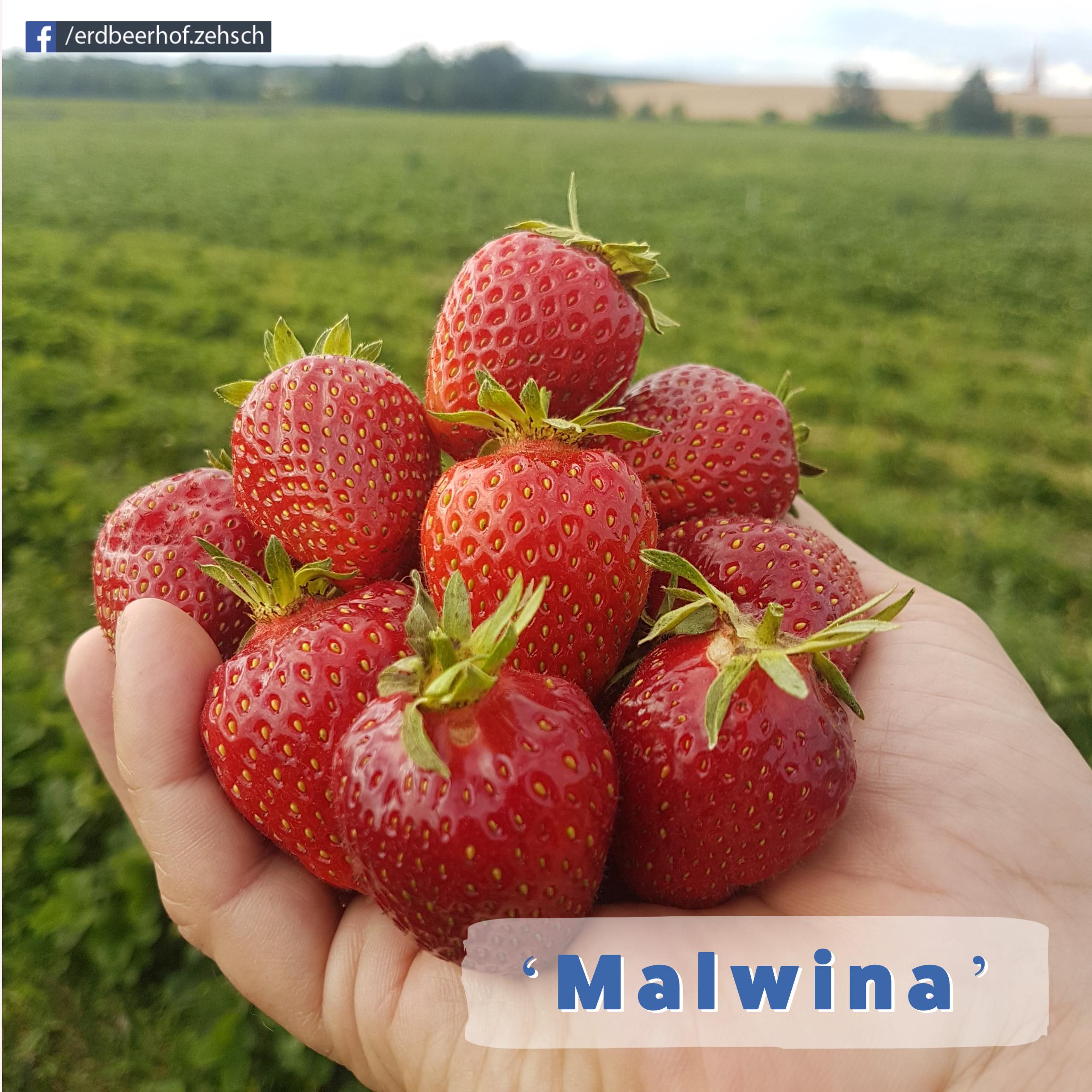 Erdbeer-Endspurt