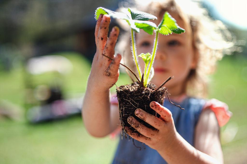 Erdbeerpflanze vor der Pflanzung