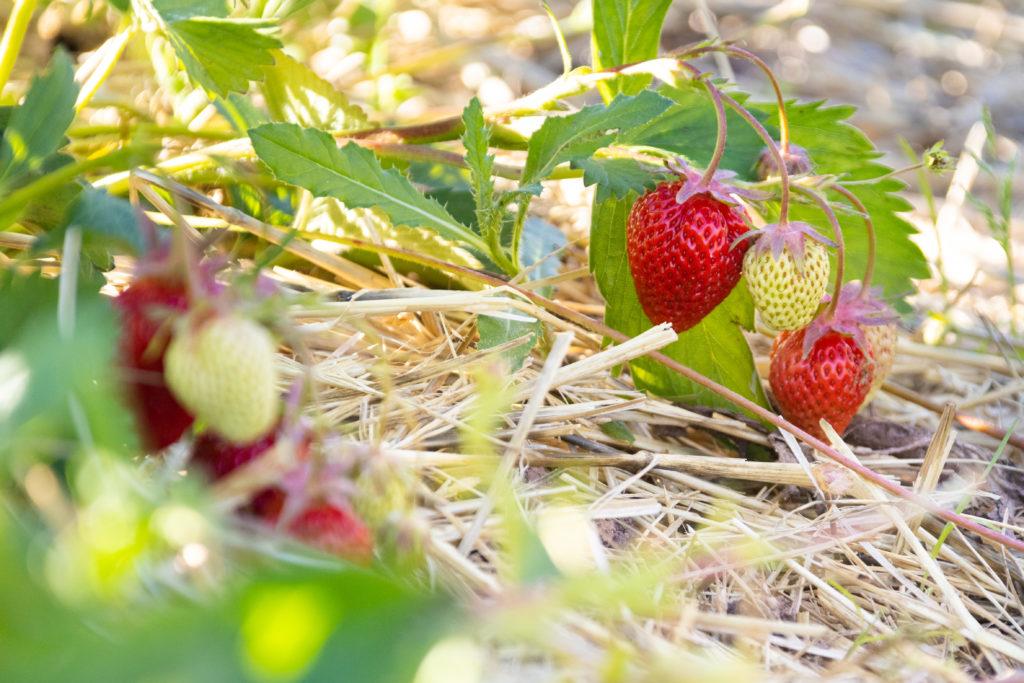 Erdbeere 'Lambada'