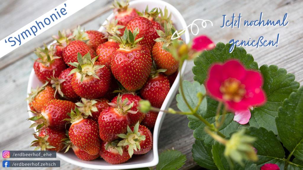 Erdbeere 'Symphonie' - jetzt genießen